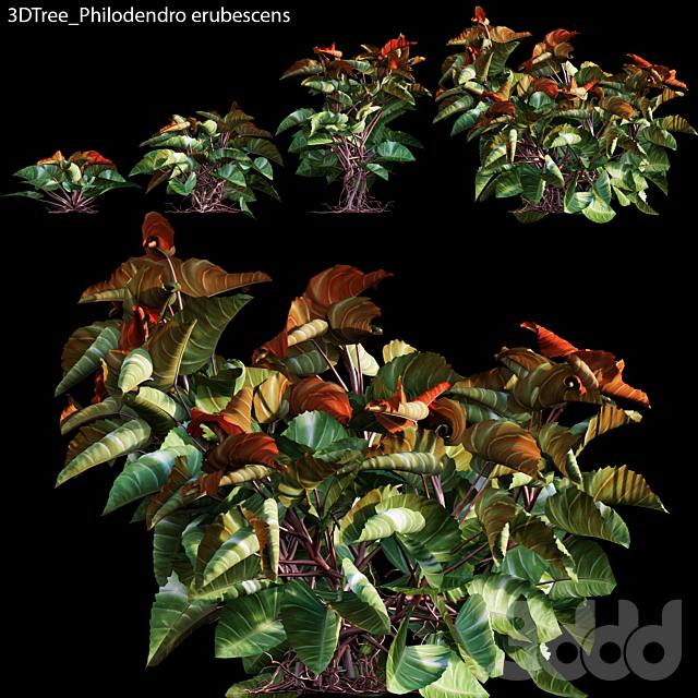 Philodendro erubescens