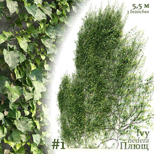 Плющ / Ivy / Hedera #1