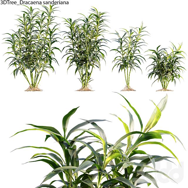 Dracaena Sanderiana - Lucky Bamboo 01