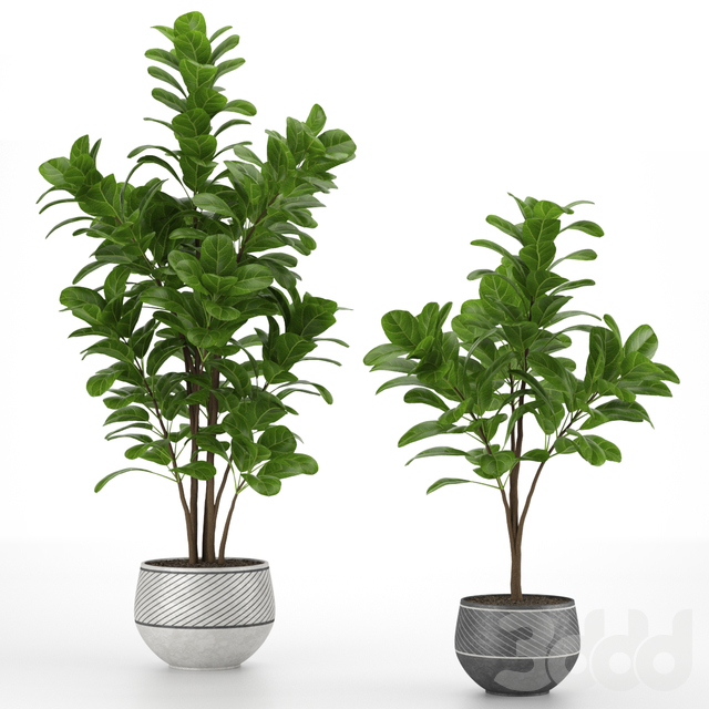 Two Ficus trees