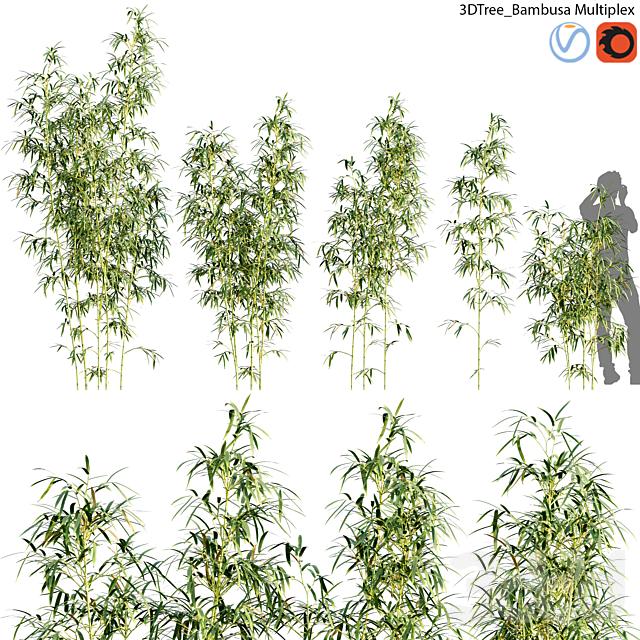 Bambusa Multiplex - Hedge Bamboo 01
