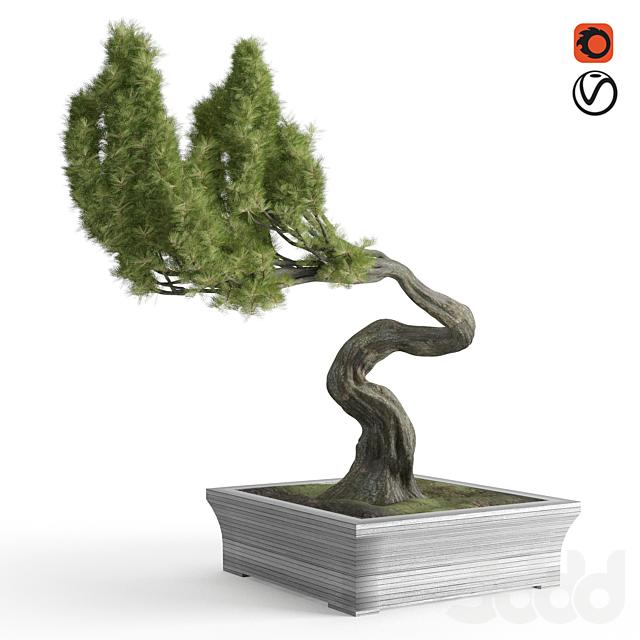 brussel's bonsai