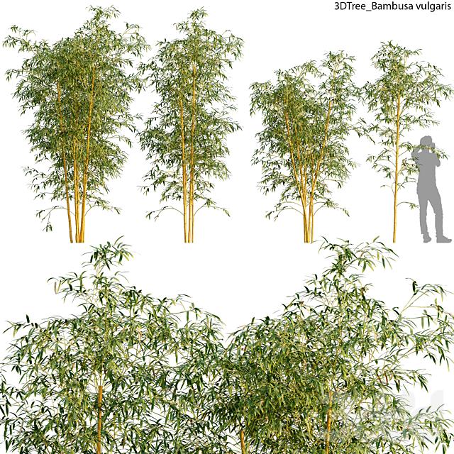 Bambusa vulgaris 01