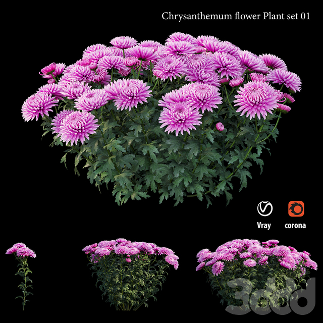 Chrysanthemum flower Plant set 01