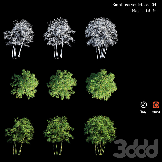 Bambusa ventricosa 04