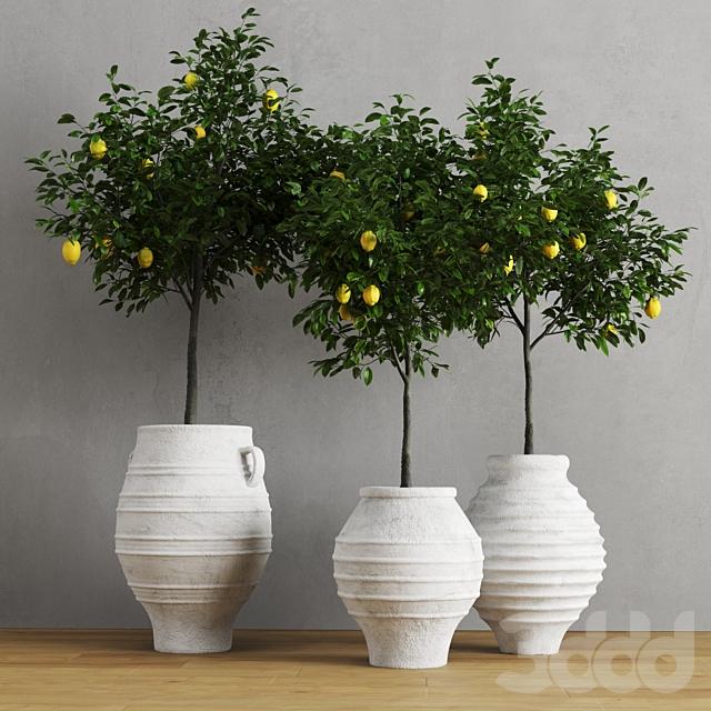 Лимоны в глиняных горшках