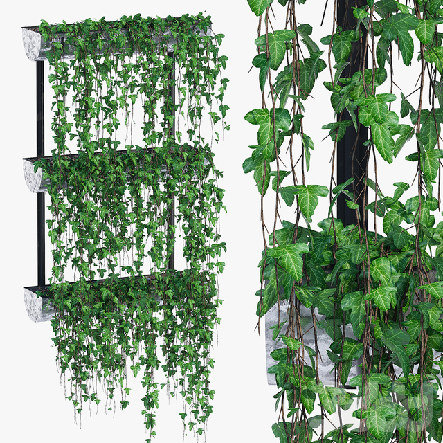 Warman ivy