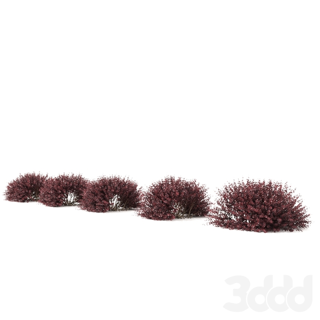 Барбарис Тунберга Живая изгородь | Berberis thunbergii hedge