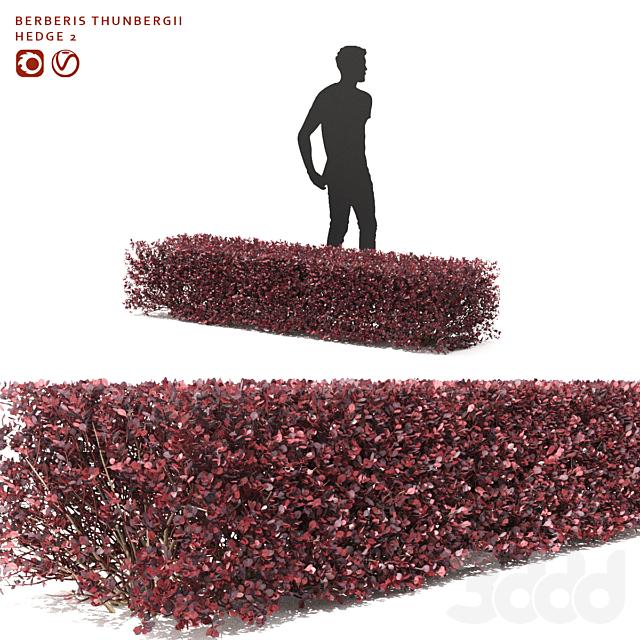 Барбарис Тунберга Живая изгородь | Berberis thunbergii hedge 2
