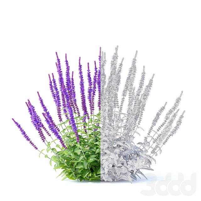 Шалфей дубравный цветы   Salvia nemorosa