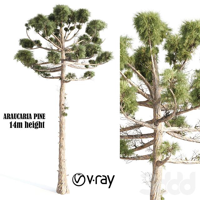 Araucaria Pine