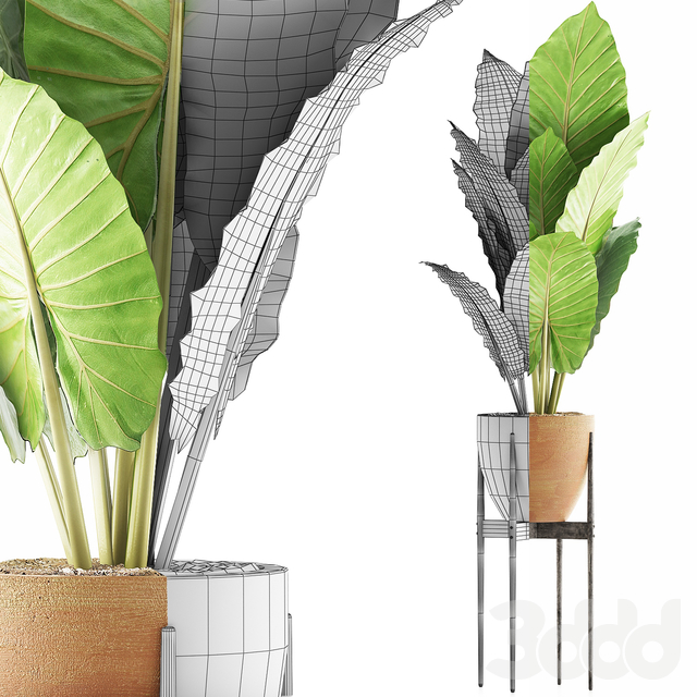 Plants Collection 56 - Alocasia