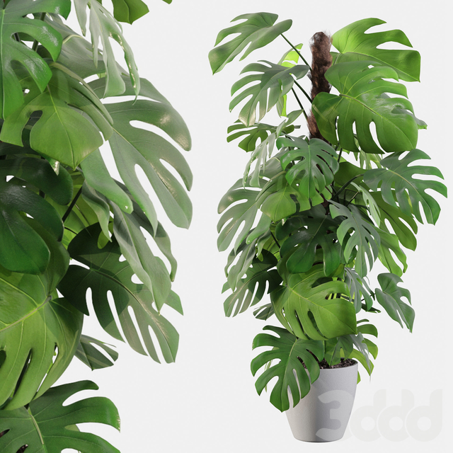 Plants collection 060 - monstera