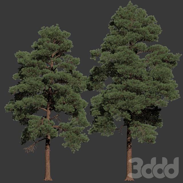 Pinus sylvestris Nr16 H12- 14m Two tree set